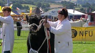 Heffrod Du Cymreig | Welsh Black Heifers