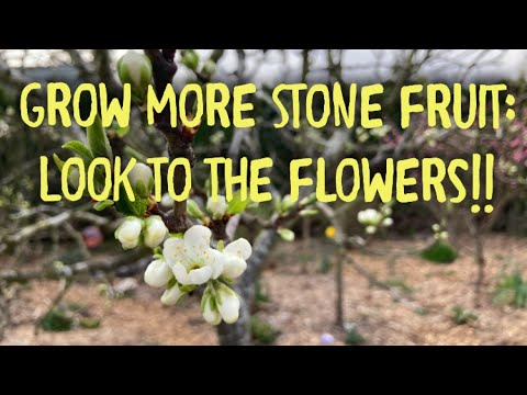 Grow More Stone Fruit: Learn Flowering Habits to Grow More Plums, Peaches, Cherries