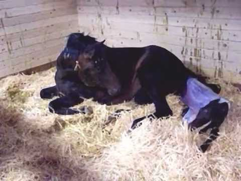 Horse Giving Birth - Foaling a baby colt