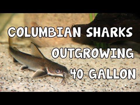 COLUMBIAN SHARK CATS│OUTGROWING│40 GALLON