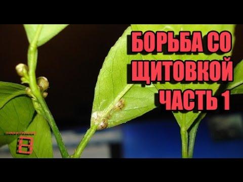 Борьба со щитовкой (вредители комнатных растений). Часть 1