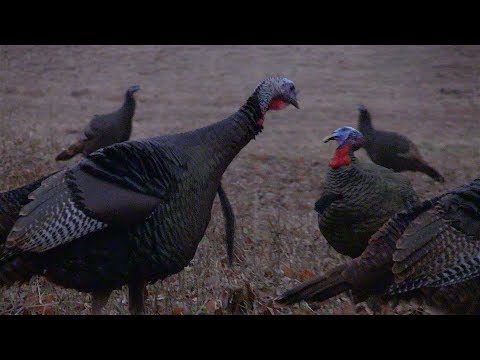 Exciting Fall Turkey Hunting Action