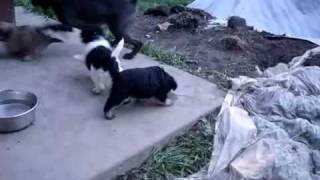 Pug/poodle/maltese/shihtzu_puppies.mp4