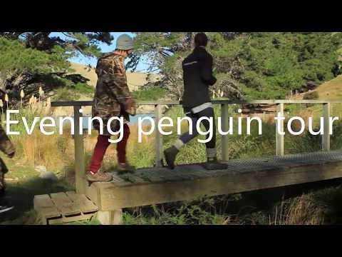 Pohatu penguins - Eco-tourism.