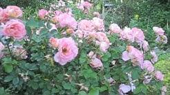 No Care Drift Rose
