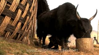 A man in a high altitude village of Arunachal Pradesh milks a yak, ...