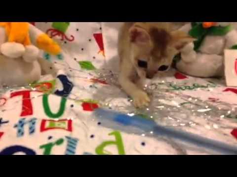 Deciding which Singapura Kitten to Get Pt. 5 (Under 1 lb) - (Smallest Cat Breed!)