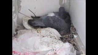 Рождение голубей