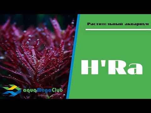 Красная ротала ротундифолия Х'Ра