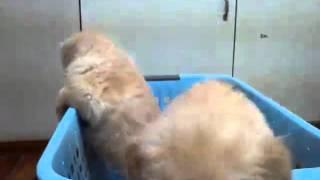 1月17日生まれのゴールデンの仔犬です^^ 元気に成長中!! 3月6日撮影...