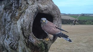 Kestrels Hunt for Springtime Nests in Autumn | Lessons in Bird Behaviour Learned from a Nest Camera