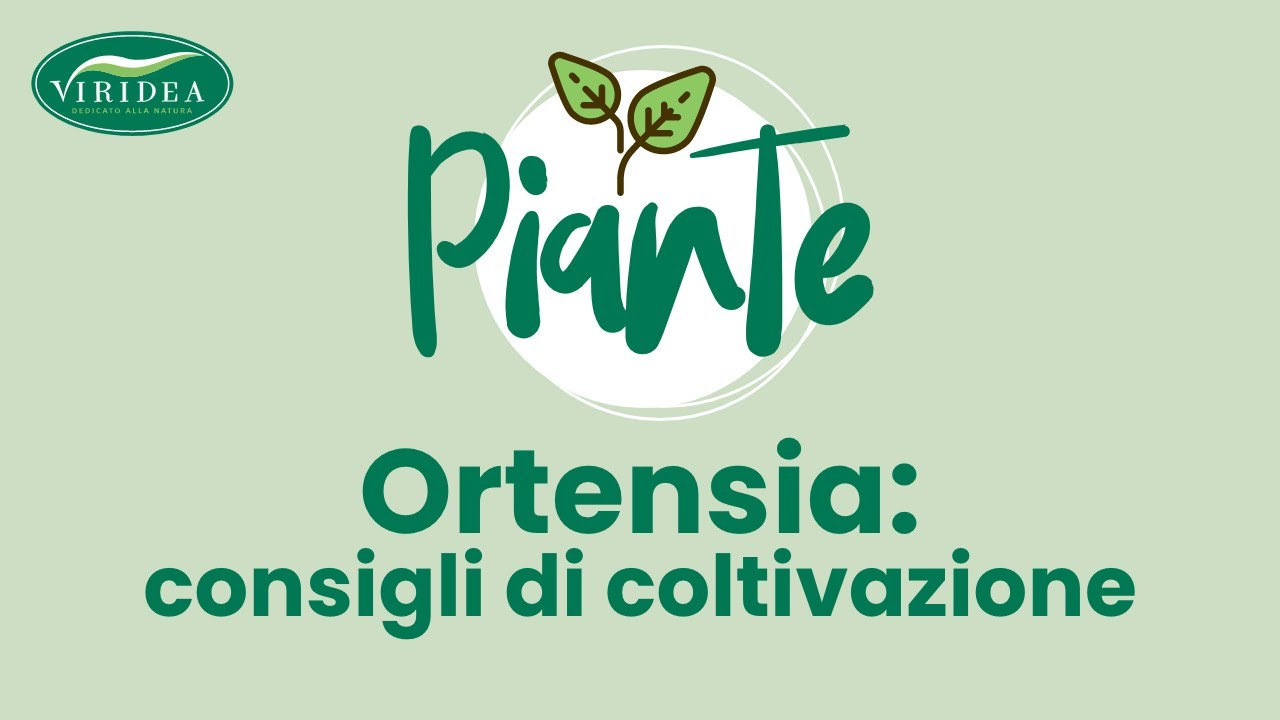 Vaso Con Ortensie Finte ortensia   viridea