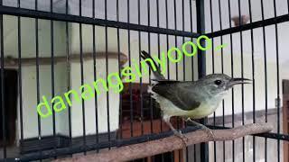 Kolibri Kelapa Betina isian