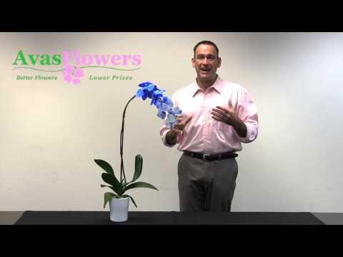 Avas Flowers - Blue Orchid Plant