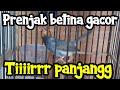 Prenjak Betina Gacor Durasi Tirrrr Panjang Masteran Pancingan Prenjak Jantan Malas Bunyi  Mp3 - Mp4 Download