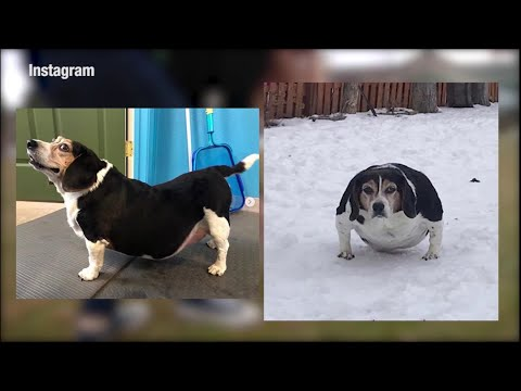 Dog loses 25+ pounds with water therapy