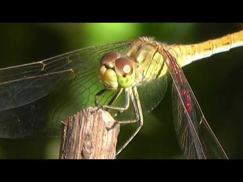 СТРЕКОЗА в природе видео макро съёмка насекомые вблизи FullHD