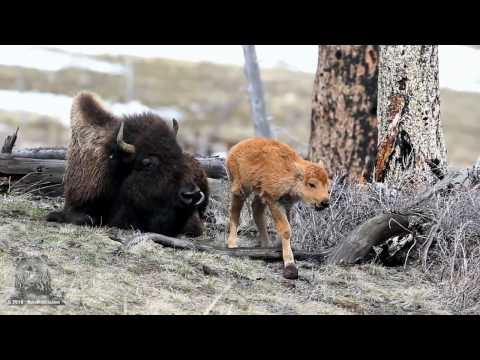 Bison Calf  Just minutes old  Yellowstone
