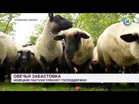 Овцы вместо газонокосилок: