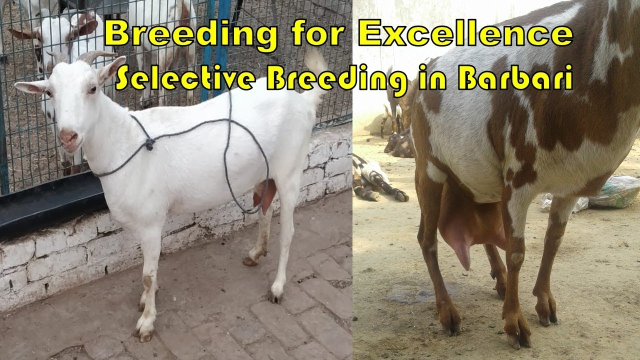 Idea of Selective Breeding in Barbari Goat in India - Initial Success in  Breeding for Excellence
