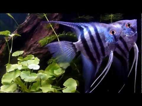 Blue Zebra Angelfish + Mates