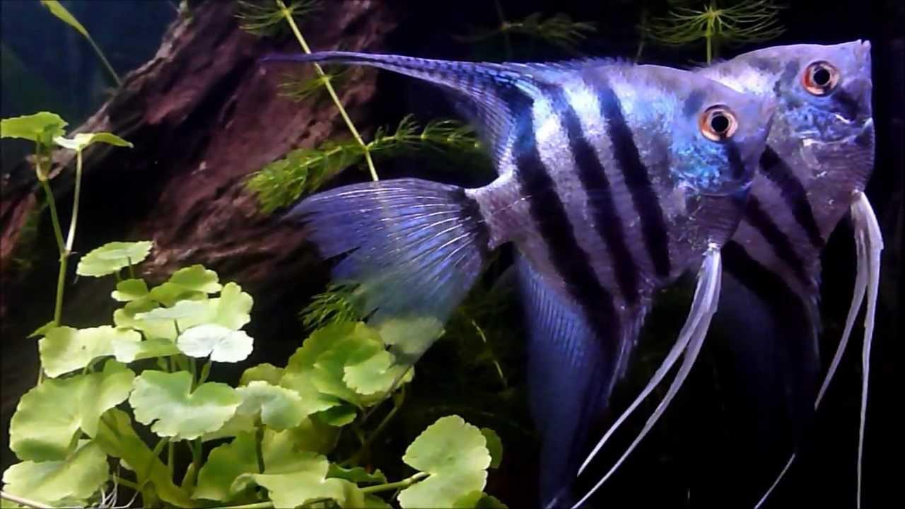 10 Interesting Angelfish Facts