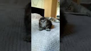 Шотландские котята питомник Melody Soul вислоухий котенок купить