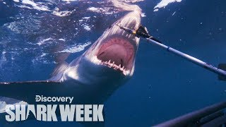 Tagging a Massive Great White Shark | Shark Week