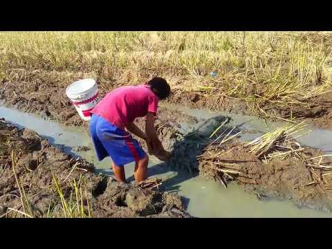 Survival Skills Primitive Best Kids fishing videos on rice fields - Amazing fishing videos for kids
