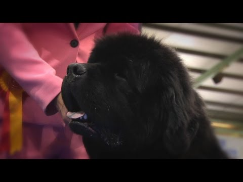 Manchester Championship Dog Show 2016 - Working group