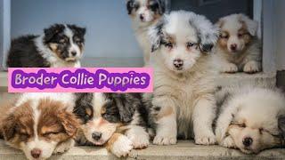 Border Collie puppies  boder collie puppys  border collie puppy