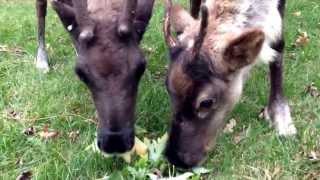 Baby Reindeer Love Leaves