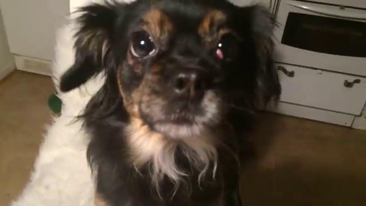 Cherry Eye Dog Fix