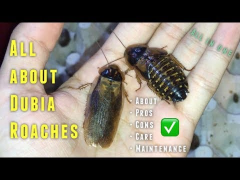 (Almost) EVERYTHING you need to know about Dubia Roaches & their CARE !!!