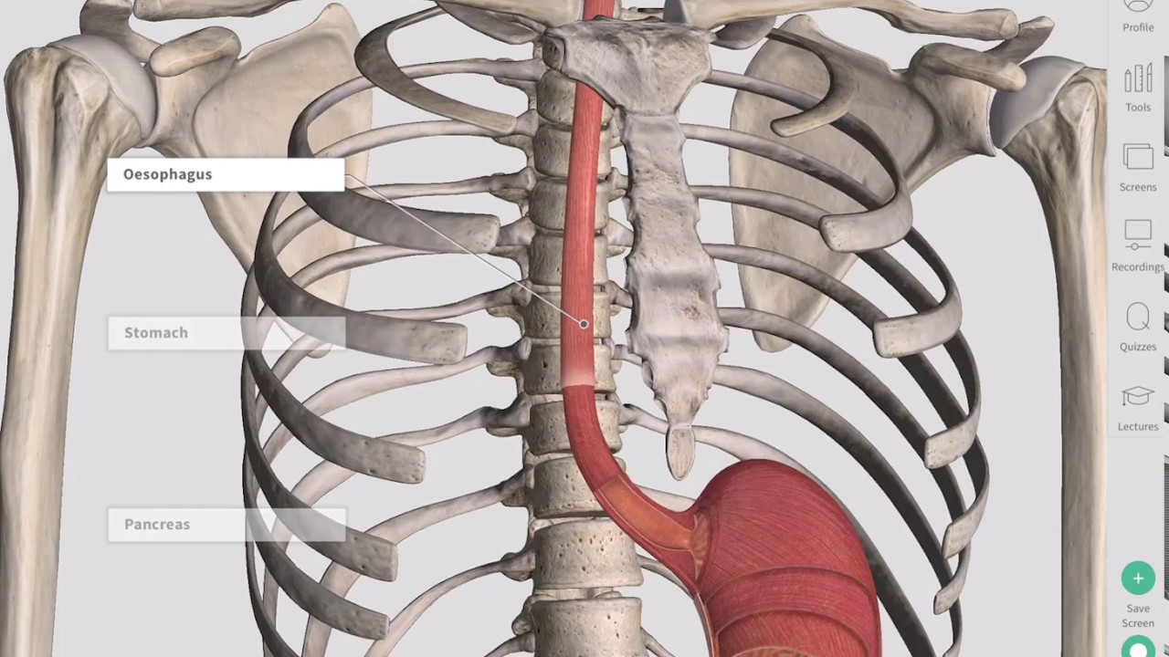 Anatomical Regions Of The Abdomen Anatomy Slices Youtube