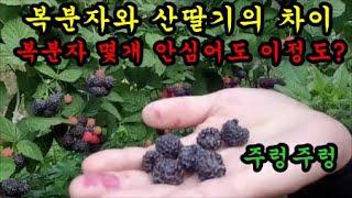 복분자수확하는방법 산딸기와 복분자의차이
