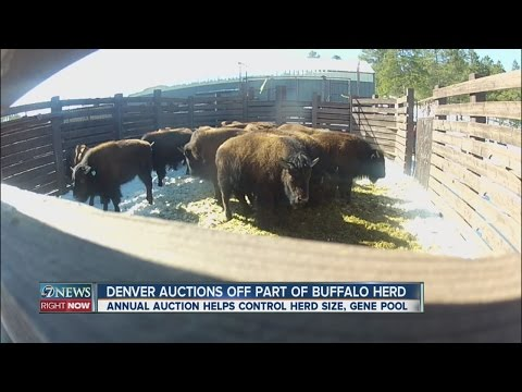 Denver auctions off part of bison herd