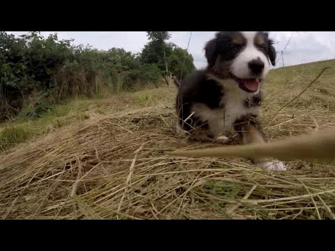 Australian Shepherd Puppies - 7 weeks - Skayes