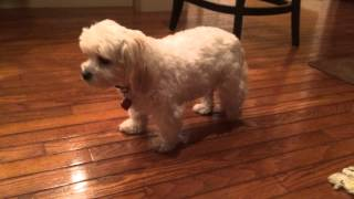Lulu Can't Walk Because Of Her Luxating Patella