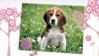 Beagle Temperament   Beagle Training Tips