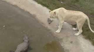 Крокодил VS лев(Общение крокодила и льва в сафари-парке Тайган., 2015-09-13T19:59:39.000Z)