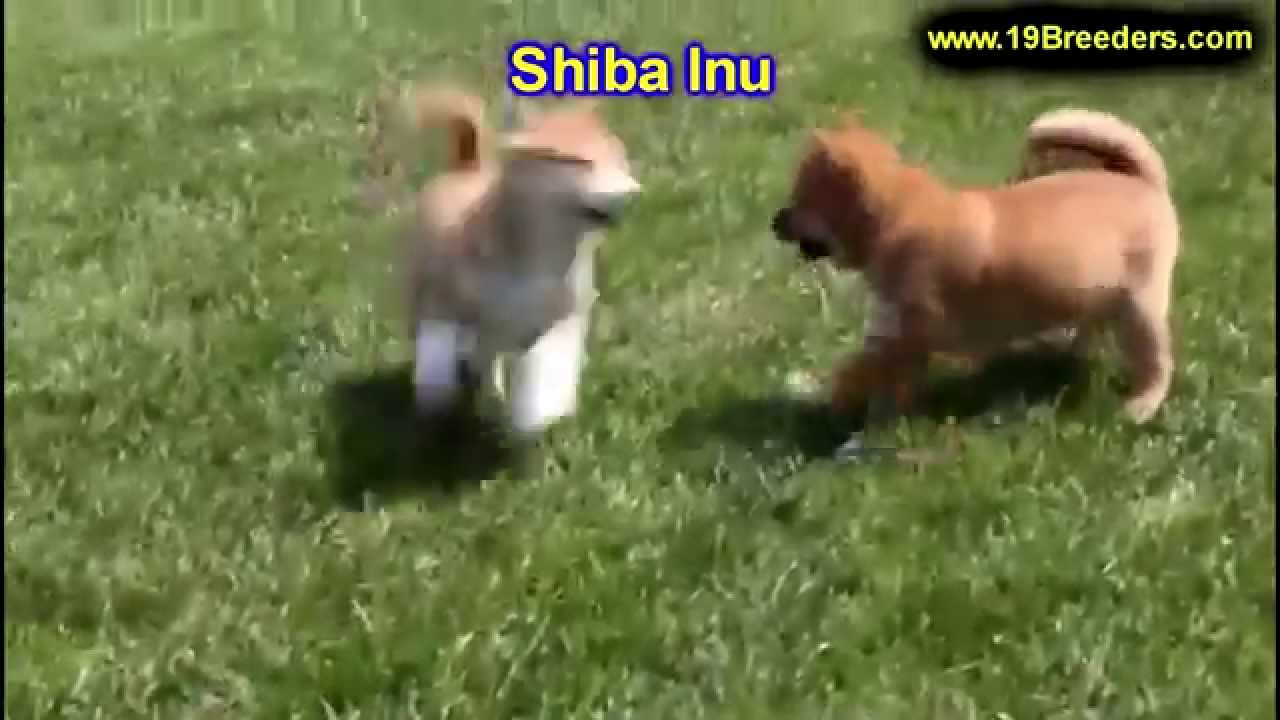 Shiba Inu, Puppies, Dogs, For Sale, In Louisville ...