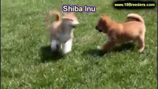Shiba Inu, Puppies, For, Sale, In, Louisville,county, Kentucky, Ky,  Richmond, Florence, Georgetown,