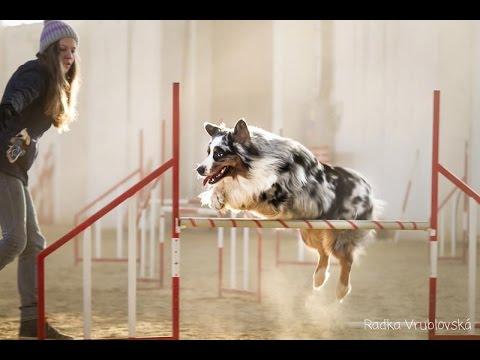 Agility training-australian shepherd Charlie