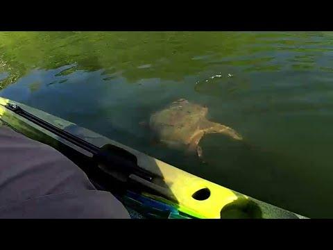 Native Titan 12 Kayak. Maryland Pre Spawn Bass Fishing At Piney Run . Giant Snapping Turtle Attack
