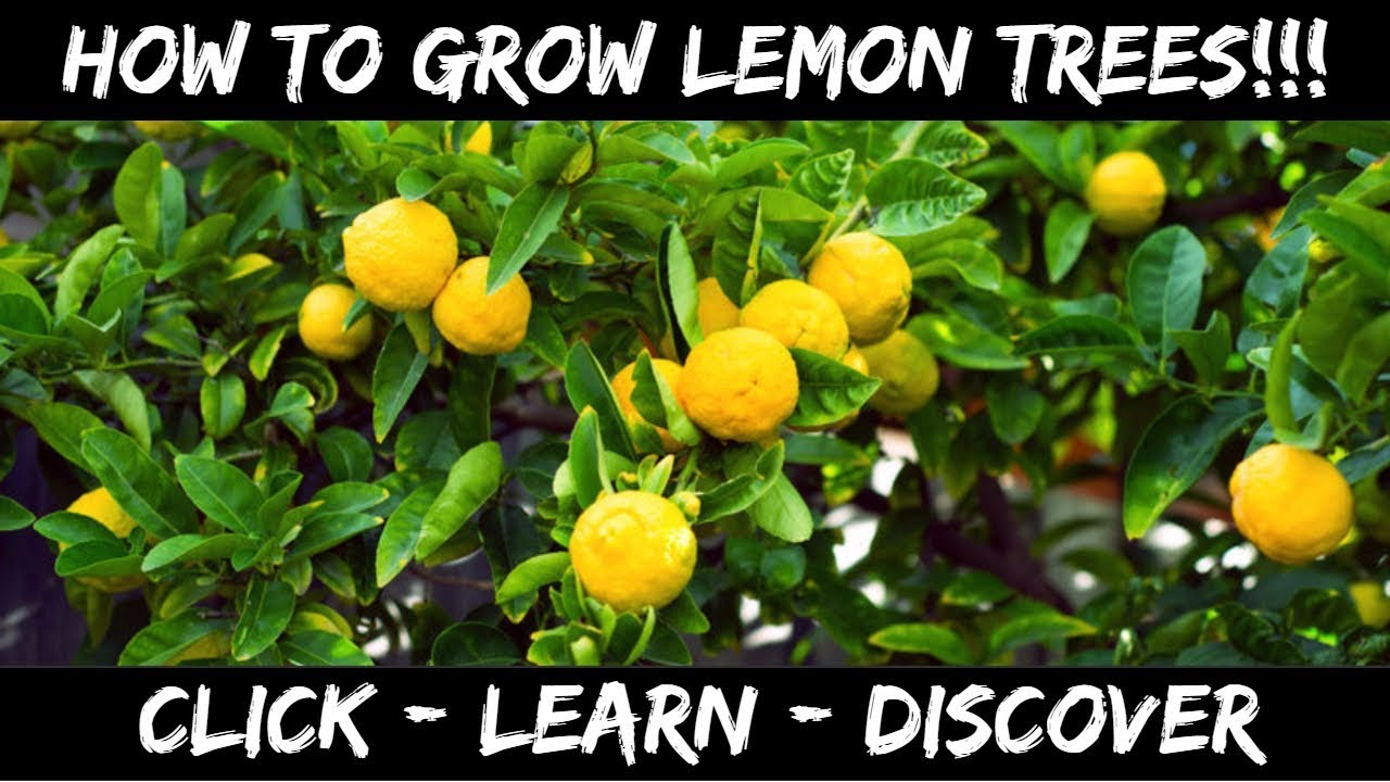 Hot to grow lemon trees from seed youtube for Can i grow a lemon tree from lemon seeds