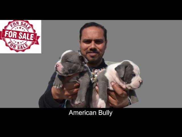 American Bully Dogs For Sale Dog Market In In Delhi Wholesaleretail Youtube