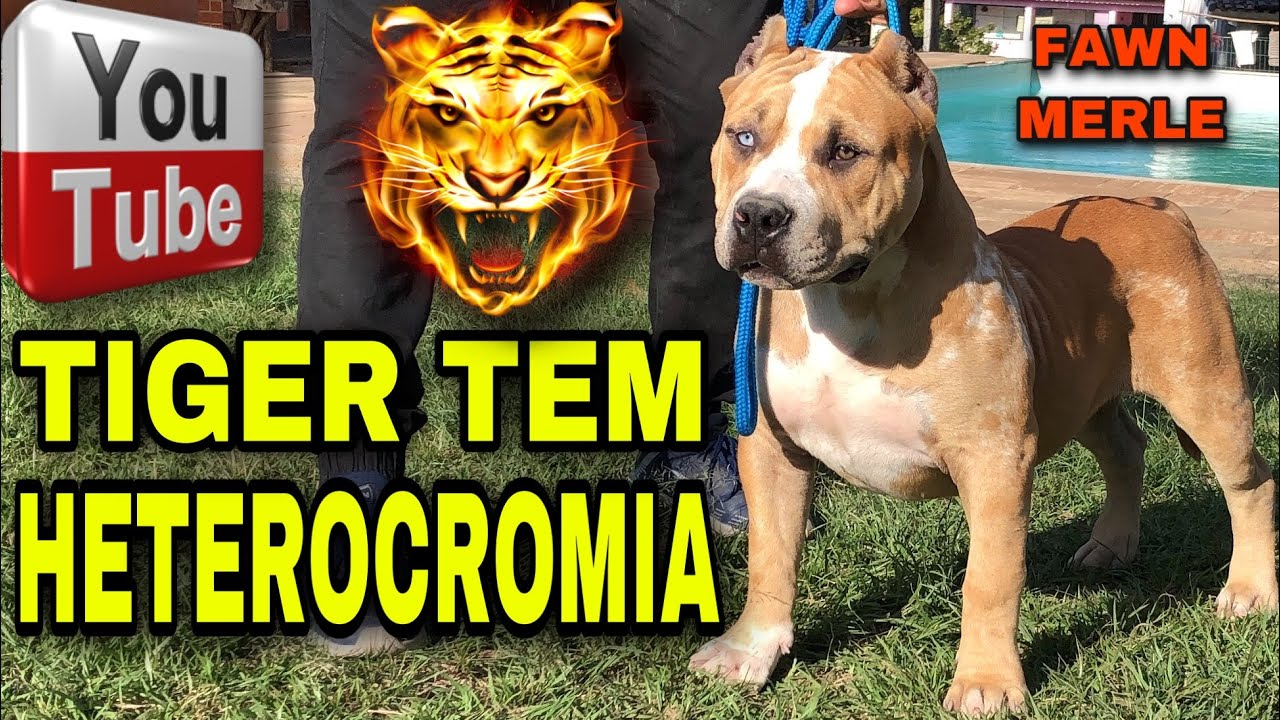 TIGER TEM HETEROCROMIA - PIT MONSTER FAWN MERLE