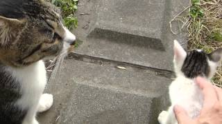 母猫の前で子猫を撫でまくってみた結果www thumbnail
