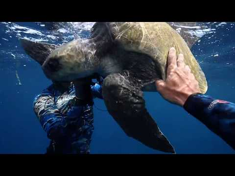 Rescuing Olive Ridley Sea Turtles Offshore Costa Rica